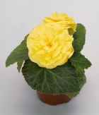 Begonia Tub. F1 Nonstop Yellow Improved