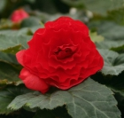 Begonia Tub. F1 Nonstop Red